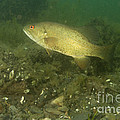Smallmouth Bass Protecting Eggs by Ted Kinsman