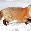 Sneaky Red Fox by Athena Mckinzie