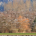 Snow Geese by Tim Hauf