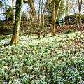 Snowdrops by Colin Rayner