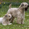 Soft-coated Wheaten Terriers by Jean-Louis Klein & Marie-Luce Hubert