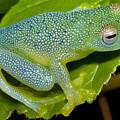 Spiny Glass Frog by Dante Fenolio