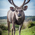 Sri Lankan Sambar Deer Male by MotHaiBaPhoto Prints