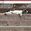 Street Dog Sleeping On Steps by Karen Zuk Rosenblatt
