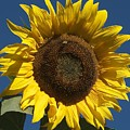 Sunflower by Christine Russell