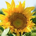 Sunflower Field  by Amos Gal