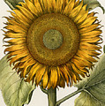 Sunflower by Granger