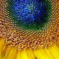Sunflower by Jessica Jenney
