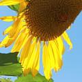 Sunflower by Pamela Walrath