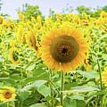Sunflowers Field by Irina Moskalev