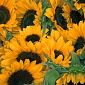 Sunflowers by FL collection