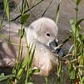 Swan by Esko Lindell