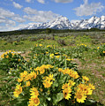 Teton Balsam Root by Ray Mathis
