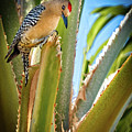 The Gila Woodpecker by Robert Bales