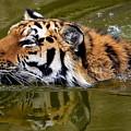 Tiger by Dorothy Binder