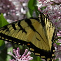 Tiger Swallowtail Butterfly by Joanne Young