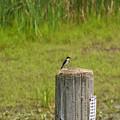 Tree Swallow by Linda Kerkau