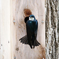 Tree Swallow by Lori Tordsen