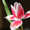 Tulip by Amanda Barcon