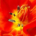 Tulip by Soon Ming Tsang