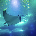 Underwater Manta Ray by Benny Marty