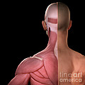 Upper Body Muscles by Science Picture Co