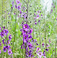Verbascum Phoeniceum In The Meadow by Alain De Maximy