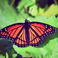 Viceroy Butterfly   by Kerri Farley