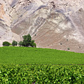 Vines Contrasting With Chiles Atacama Desert by James Brunker