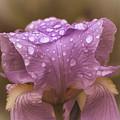 Vintage Iris by Mel Hensley