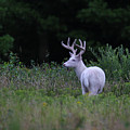 White Buck by Brook Burling