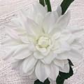 White Dahlia by Jeannie Rhode