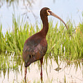 White Faced Ibis by Dennis Hammer
