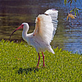 White Ibis by Allan  Hughes