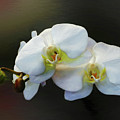 White Orchid - Doritaenopsis Orchid by Kaye Menner