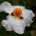 White Poppy And Bee by Daniel Unfried