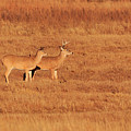 White Tailed Deer by The Bohemian Lens LLC