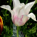 White Tulip by Patrick  Short