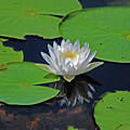 2- White Water Lily by Joseph Keane