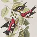 White-winged Crossbill by John James Audubon