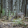 Whitetail Buck Deer by Chip Laughton