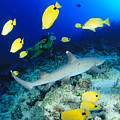 Whitetip Reef Shark by Dave Fleetham - Printscapes