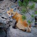 Wild Fox Near Den In Wilderness Animals by Lane Erickson