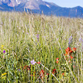 Wildflowers And Pikes Peak In The Pike National Forest by Steve Krull