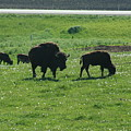 Wisconsin Buffalo by Tommy Anderson