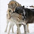 Wolf Pack by Steve McKinzie
