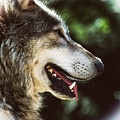 Wolf Portrait by Martin Newman