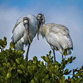 Wood Stork by Ronald Lutz