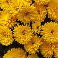 Yellow Chrysanthemums by Louise Heusinkveld