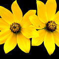 2 Yellow Daisies by BuffaloWorks Photography